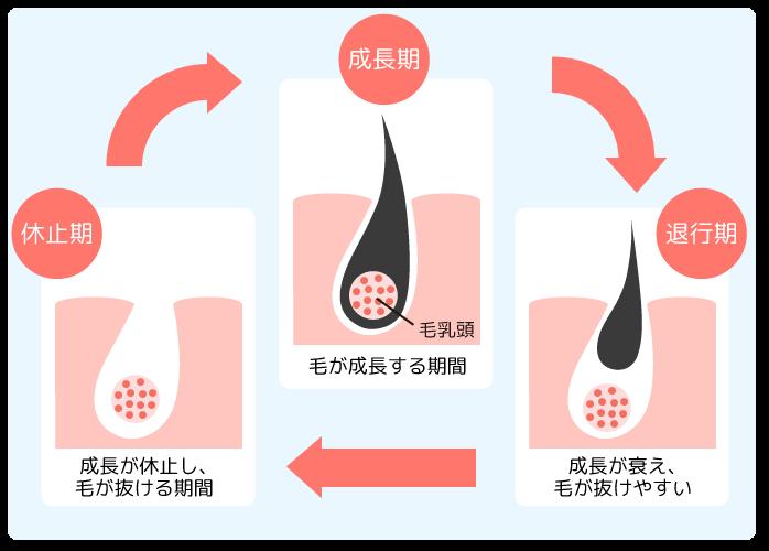 毛周期サイクル