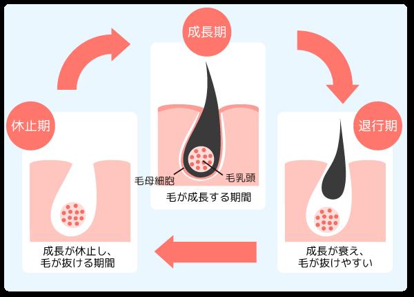 毛周期の仕組み