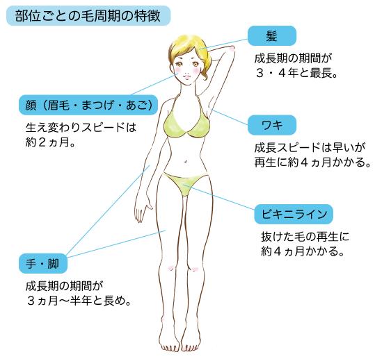 部位ごとの毛周期の特徴